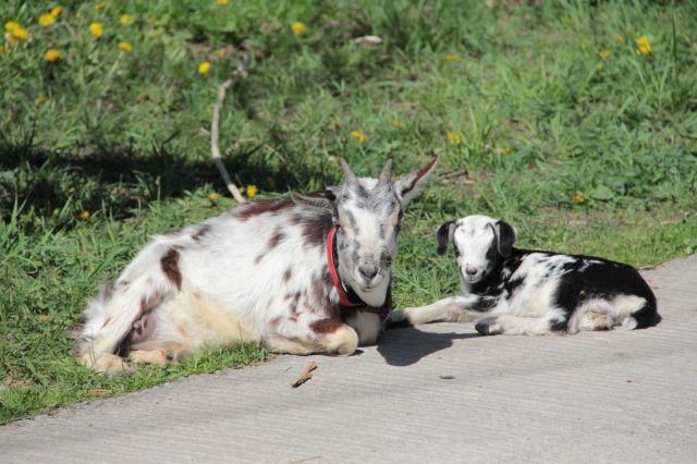 スエトシ牧場:ヤギの親子