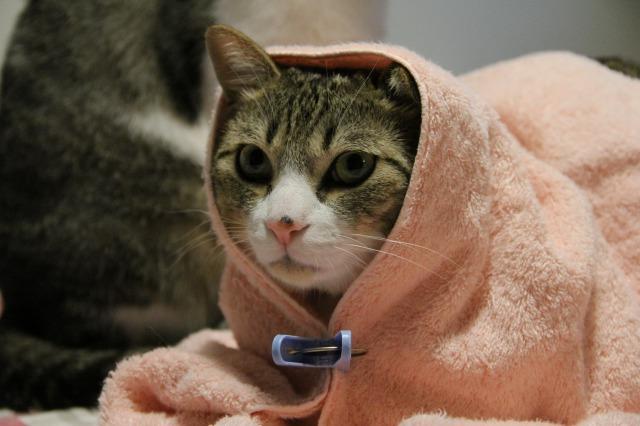 キャベツ巻き猫1