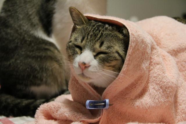 キャベツ巻き猫2