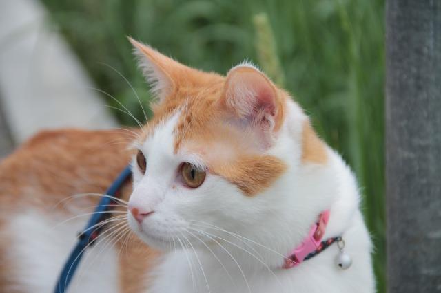 草を食べる猫4