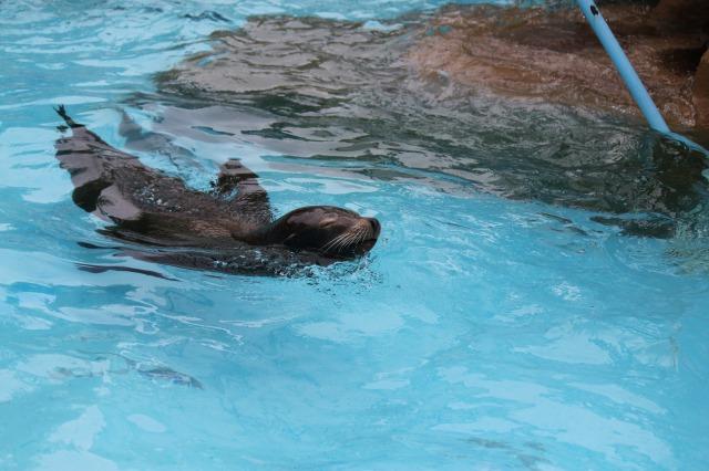 城山動物園:カルフォルニアアシカ