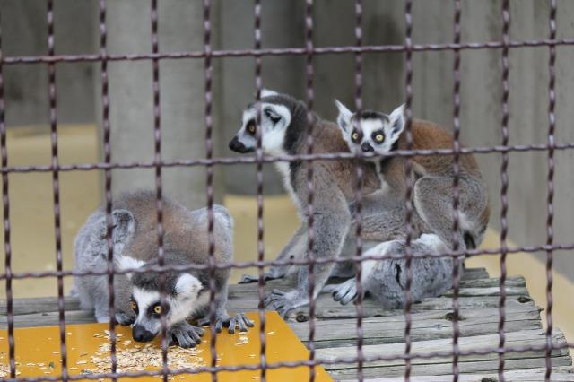 城山動物園:ワオキツネザル