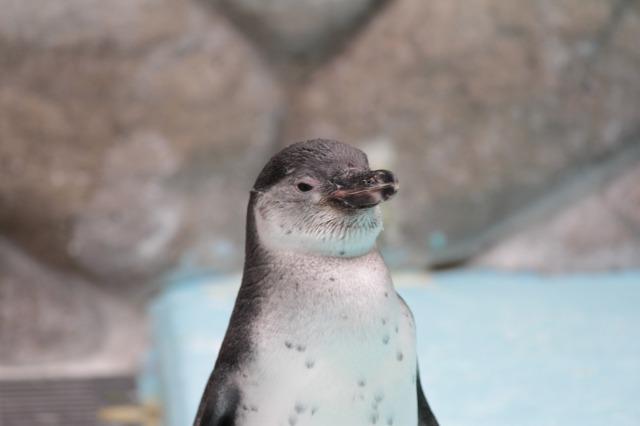 城山動物園:子ペンギン
