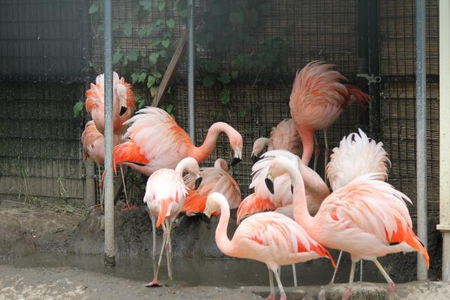城山動物園:チリーフラミンゴ