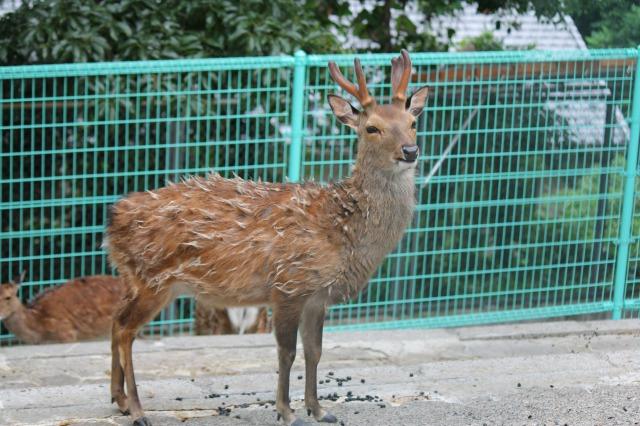 城山動物園:ヤクシカ