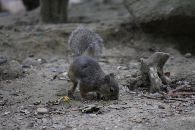 城山動物園:ニホンリス