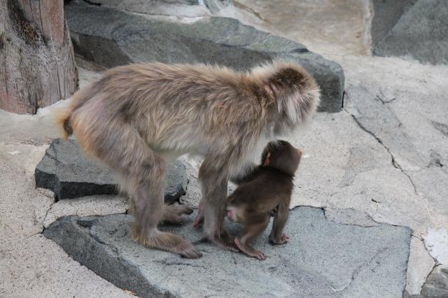 城山動物園:ニホンザルの親子
