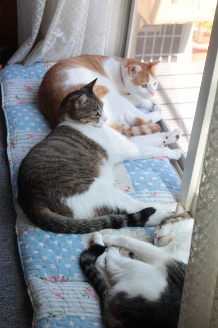 夏の窓辺猫2