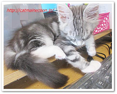 メインクーンの仔猫シルル生後3ヶ月