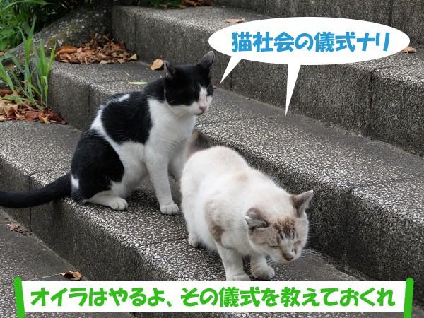 猫社会の儀式ナリ 「オイラはやるよ、その儀式を教えておくれ」