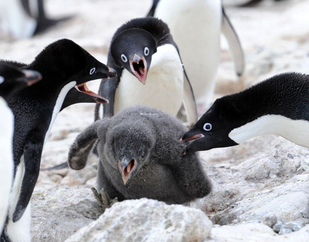 いじめられているペンギン