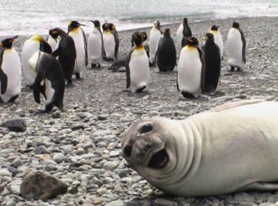 ペンギンの群れにドヤ顔で紛れ込むアザラシ