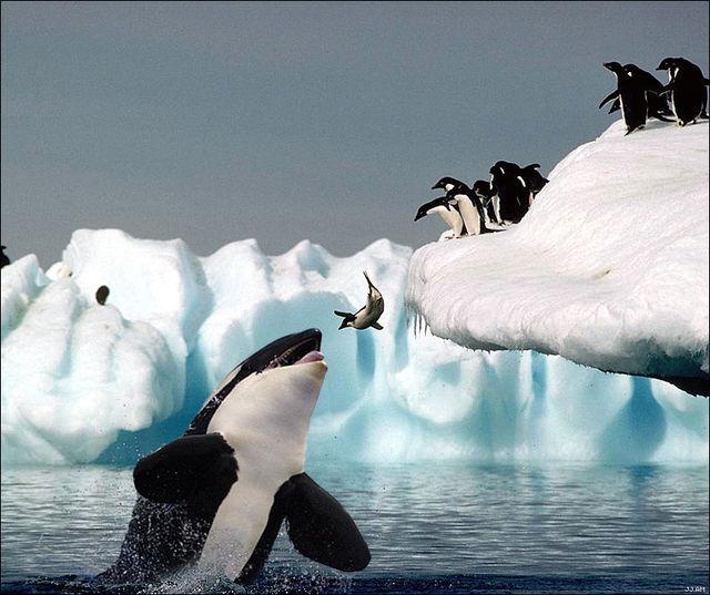 シャチに食べられるペンギン