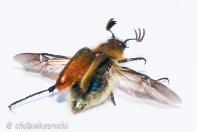 オオヒゲブトハナムグリ