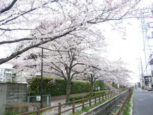 ますこぴあの教室前の桜並木