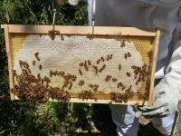 蜜蓋もしっかり完熟ハチミツです♪