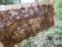 貯蜜も蜂児も順調そう♪