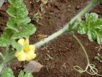 花粉をつけてミツバチ♪