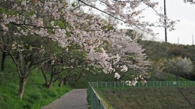 桜が池_桜 (400x225)