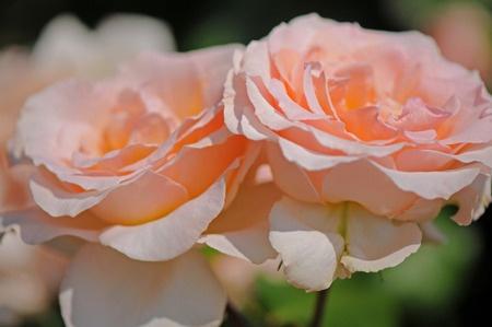 peace-roses20160531.jpg