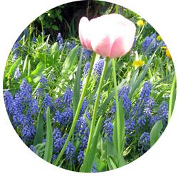 tulip20160519.jpg