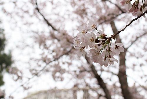 お台場桜3