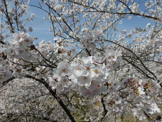 天守台へ続く石垣の傍らに咲く桜