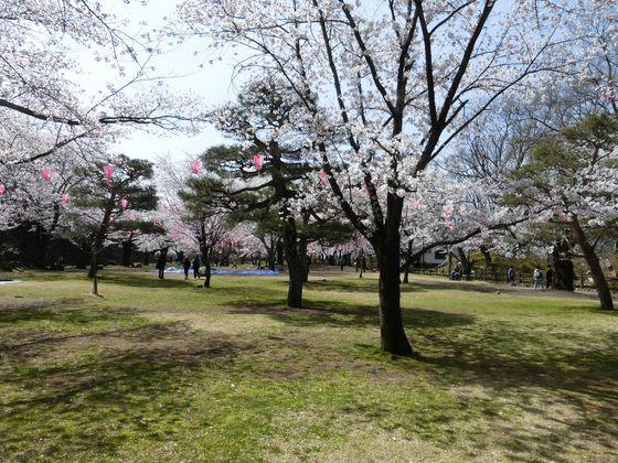 美しい桜の庭が広がる懐古園・馬場