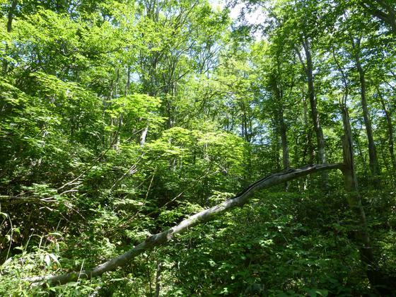 蔵王中央高原のブナ林