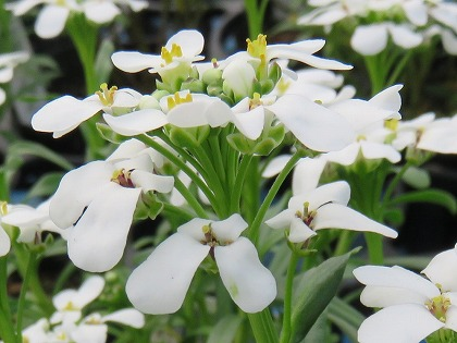 イベリスの花序