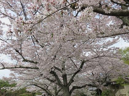 京都の桜 (1)