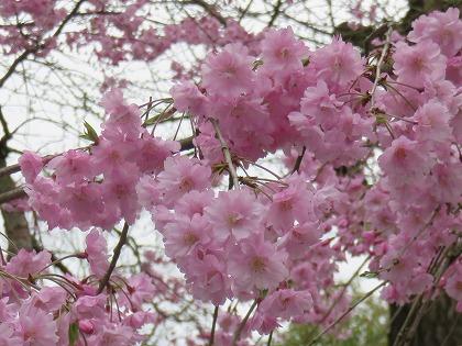 京都の桜 (3)