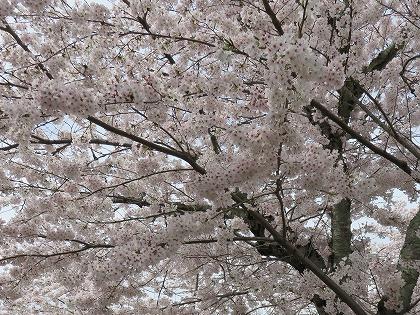 京都の桜 (5)