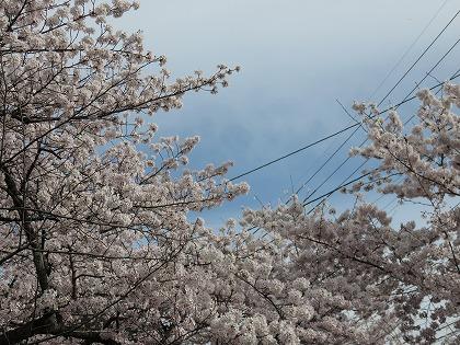 京都の桜 (6)