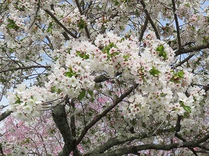 京都の桜 (9)