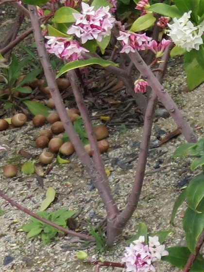 ジンチョウゲの分枝