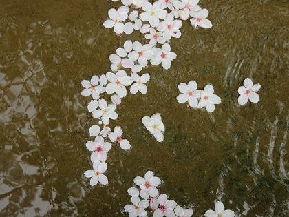 落花した桜 (2)