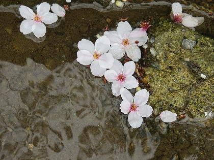 落花した桜 (3)