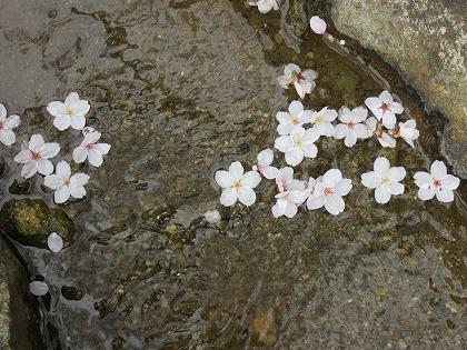 落花した桜 (4)