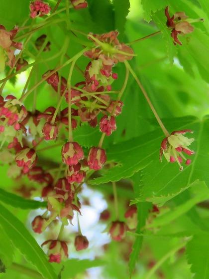 モミジの花 (10)