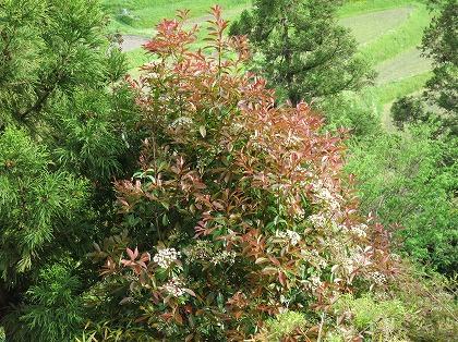 カナメモチの木