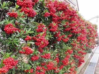 ピラカンサの生垣の赤い実 (2)