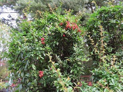 トキワサンザシの木