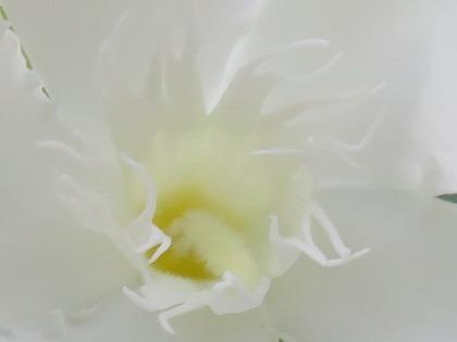 キョウチクトウ (8)