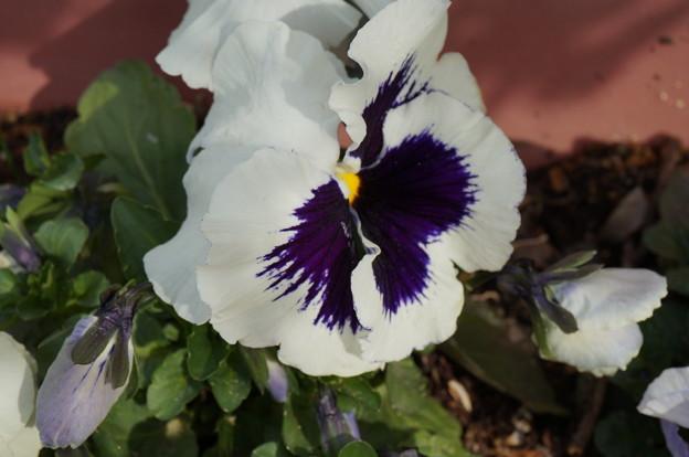 実家の花2