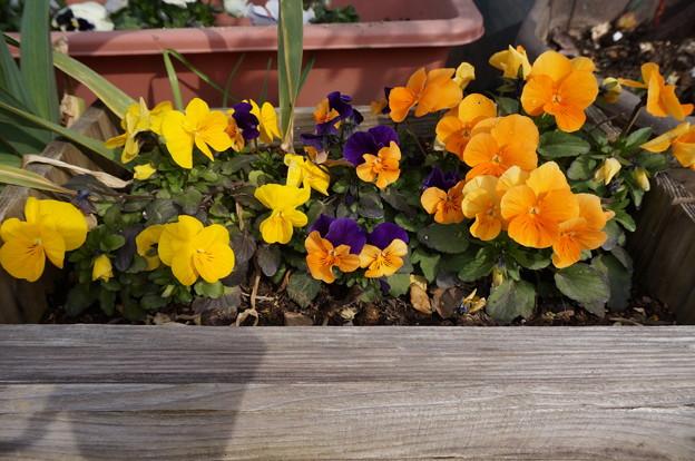 実家の花3