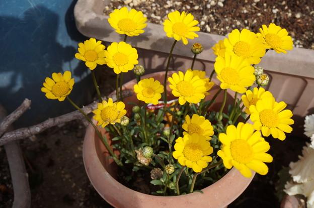 実家の花6