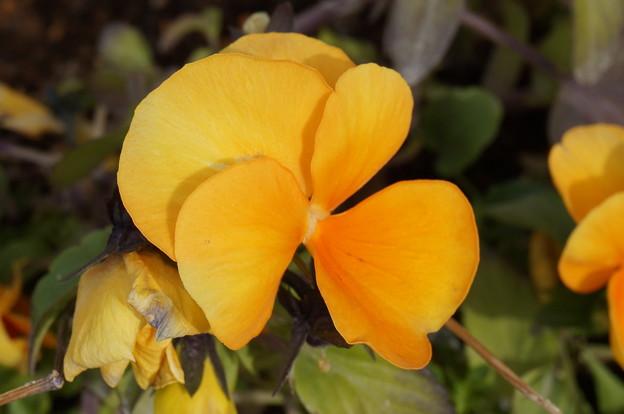 実家の花11