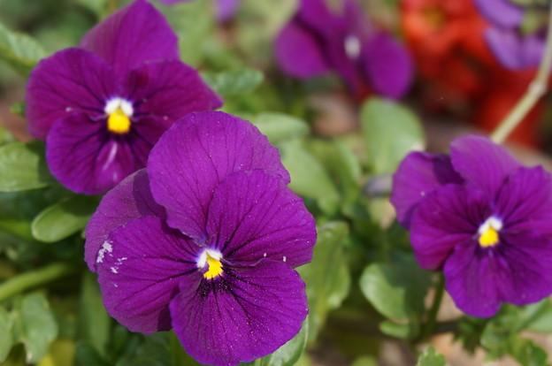 実家の花17