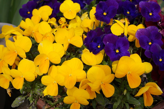 実家の花20